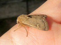 Another square-spot rustic, showing colour variation within the species.