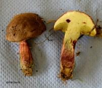 xvi Boletus (Xerocomus) chrysenteron