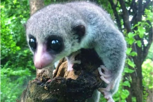 "Credit: ""A New Species of Dwarf Lemur (Cheirogaleidae: Cheirogaleus medius Group) from the Ankarana and Andrafiamena-Andavakoera Massifs, Madagascar"" by Cynthia L. Frasier et al, in Primate Conservation, 2016"