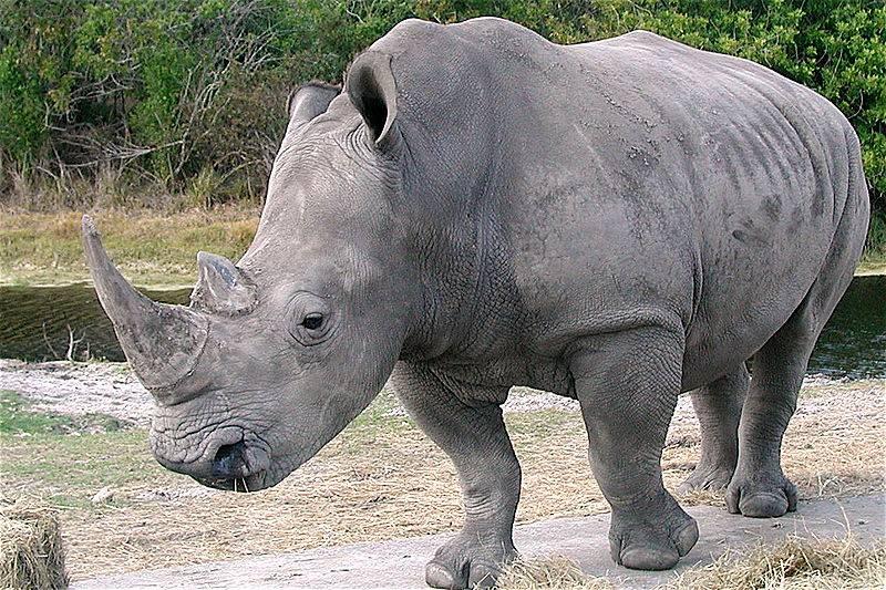 rhino for coffee