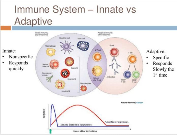 https://i2.wp.com/blogs.shu.edu/cancer/files/2017/08/Fig-1.-Innate-and-adaptive-immune-responses.png?resize=696%2C530