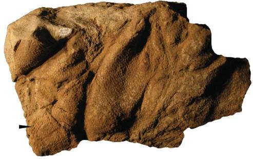 A natural cast of a hadrosaur's skin found in southern Utah. From Herrero and Farke, 2010.