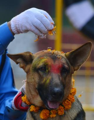 Kukur Tihar Celebration of Dogs : a dog receives a tika and blessing of flowers during the Hindu annual celebration of dogs and their relationship with humans.