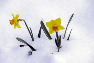 Tom-Glassman-Snow-Spring-Flower-300x201.jpg