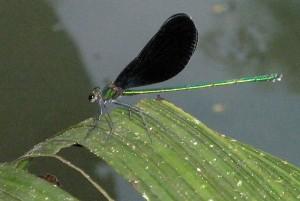 black-winged dragonfly near Luang Prabang, Laos
