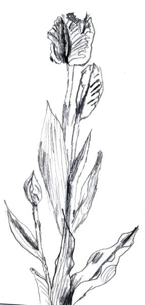 slightly shaky tulip sketch
