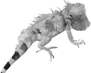 high-contrast iguana suitable for image transfer