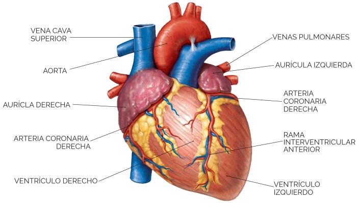 Unidad didáctica 7: Aparato circulatorio: El corazón - Contenidos ...