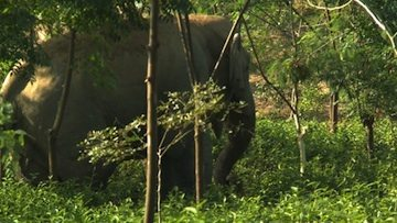 Elephant in Tea garden