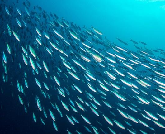 Certificado de sustentabilidade poderia proteger cardumes da exploração pesqueira