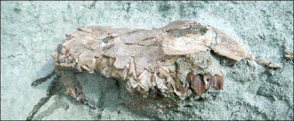"Oreodont ""Merl"" before excavation"