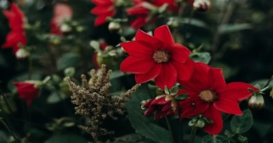 Beautiful Red Flowers Other Than Roses That Too Represent Love!