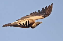 Long-billed_Vulture