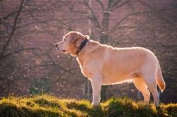 Sunny Labrador