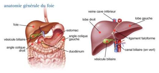 anatomie-du-foie