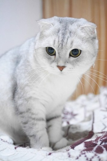 pisica scottish-fold