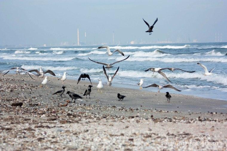 pescarusi pe plaja din mamaia