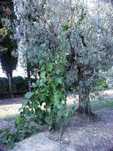 Alberate training: vine and olive