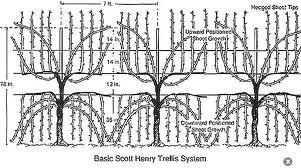 Vine trellis Scott Henry diagram