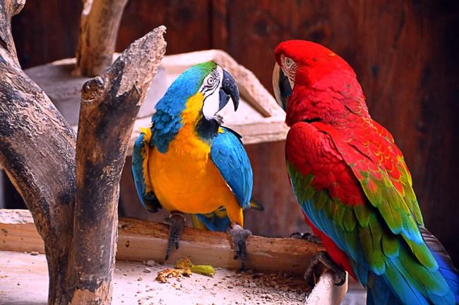Multicolor parrots