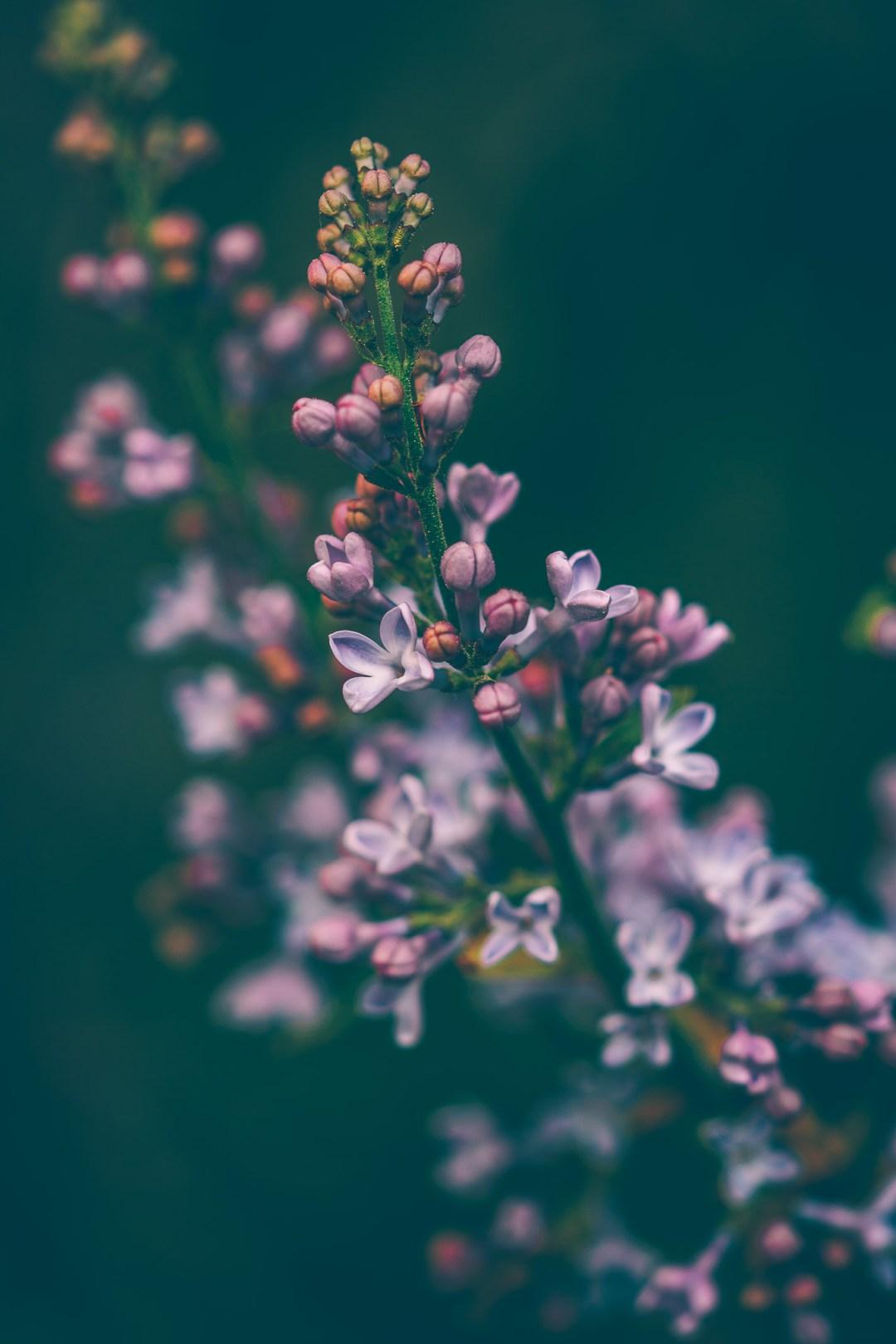 lila syren makro