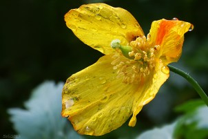 Blomsterphoto Meconopsis cambrica Soli 2013
