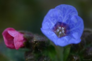 Blomsterphoto pulmonaria officinalis Soli 2014