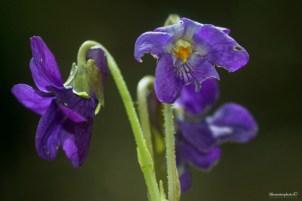 Blomsterphoto Viola odorata Soli 2015