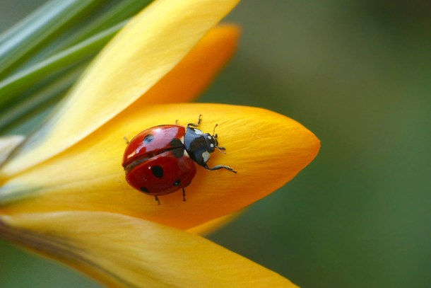 Blomsterphoto Coccinellidae Soli 2016_01©