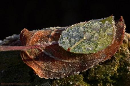 blomsterphoto-frozen-leaves-soli-2016