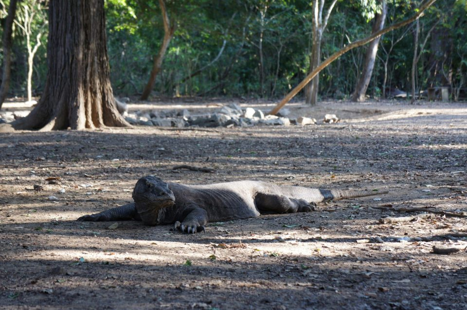 This Komodo dragon is full and happy as he ate a couple of days ago