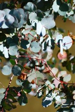 Eucalyptus leaves in Australia (maybe_