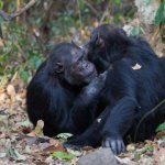 Gregarious Chimps And Friendly Humans