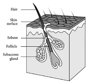 Sebaceous-Glands