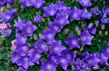 Campanula - Carpatica Blue