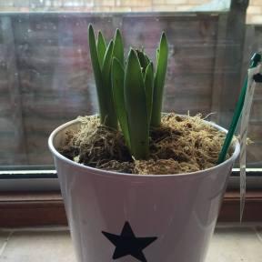 Hyacinth 1112151