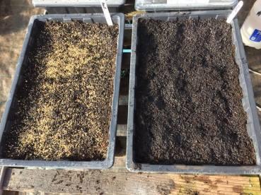 ANTIRRHINUM Seeds 110216