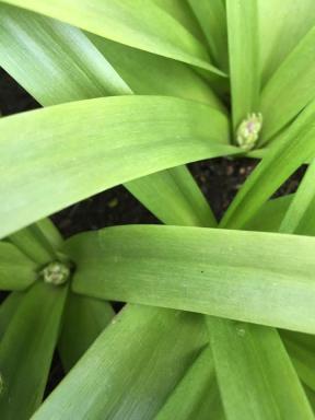Allium 050416