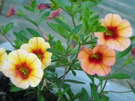 annuals and perennials, calabrachoa, calabrachoas
