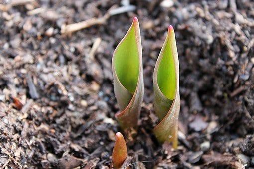 how to grow bulbs, flower bulbs, tulip bulbs