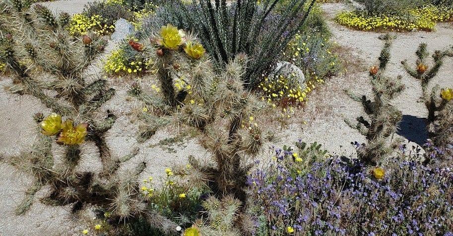 anza borrego state park, wildflower, superbloom, cactus