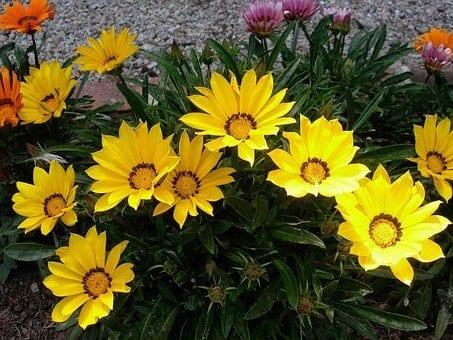 how to grow gazania flowers