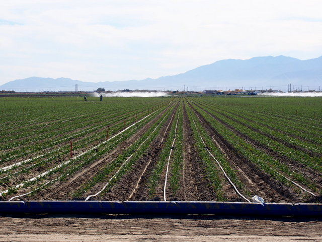 Garlic in the Imperial Valley fed by a series of irrigation ditches and tubing.