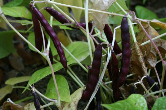 black beans at maturity