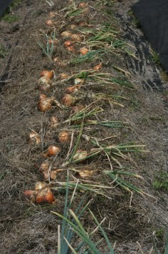 glorious sweet onion harvest