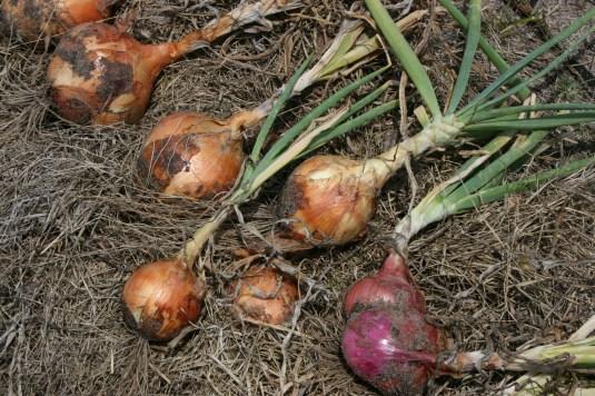 onion oddball