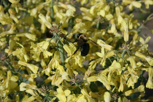 bees are swarming the broccoli
