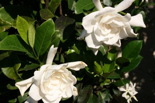 gardenia morning glory