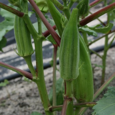 Pick Okra at Peak of Perfection