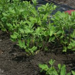 where to grow peanuts-soft dirt